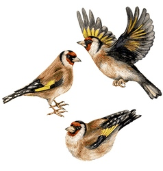 Goldfinches vector