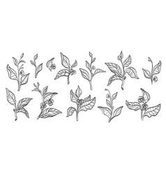 Tea branches set vector