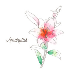 amaryllis flower painting on white background vector image vector image