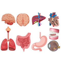 Set of human anatomy vector image