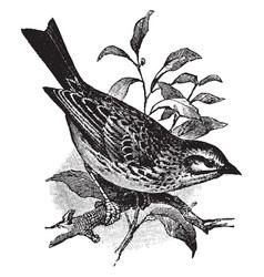 Savannah sparrow vintage vector