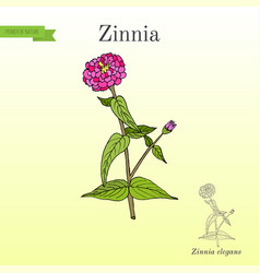 Zinnia elegans or youth-and-age flowering plant vector