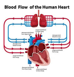 Chart showing blood flow of human heart vector