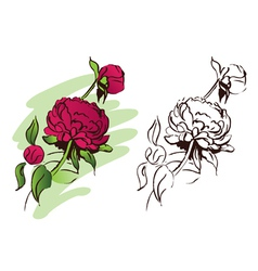 peony flower hand drawn vector image