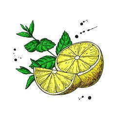 lemons and mint drawing hand drawn slice vector image