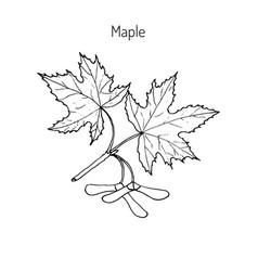 maple branch with leaves and seeds vector image vector image