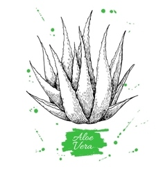 Hand drawn botanical aloe vera engraved vector