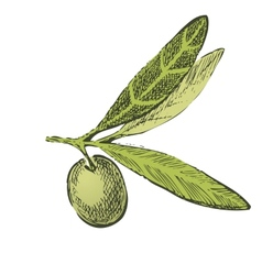 Hand drawn olive brunch vector