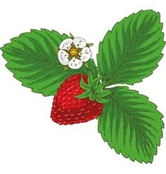 Ripe Red Srawberry vector image