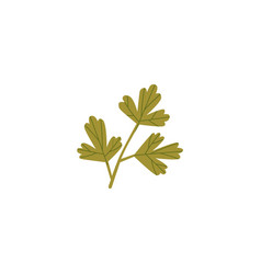 Fresh green parsley coriander cilantro leaf vector
