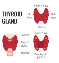 Thyroid gland diagram vector image