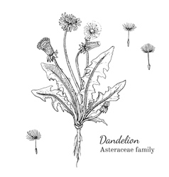 Ink dandelion hand drawn sketch vector image
