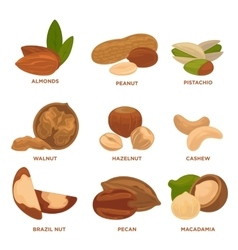 Ripe nuts and seeds vector