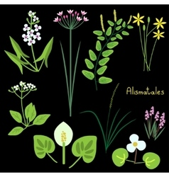 Alismatales plant order vector image vector image