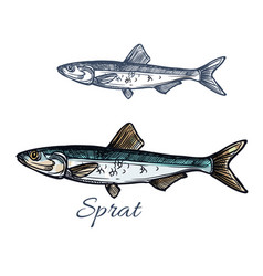 Sprat fish isolated sketch icon vector