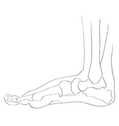 Internal lateral view foot bones vector