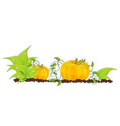 Pumpkins grow in a garden vector
