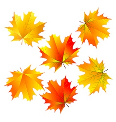 Vector maple leaves vector