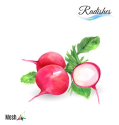 Watercolor radishes vector