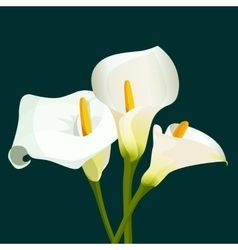 Bouquet of white calla lilies on dark green vector