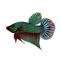 Fighting fish on white background vector