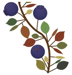 Branch closeup with purple natural blueberries vector
