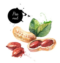 Hand drawn watercolor painting of peanut isolated vector image