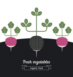 Radish and black radish vegetables vector image vector image