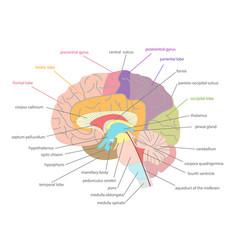 Cartoon human brain anatomy in a cut vector