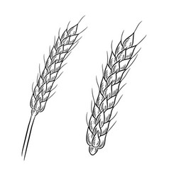 Wheat drawing isolated on white background vector