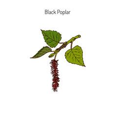 Black poplar branch vector