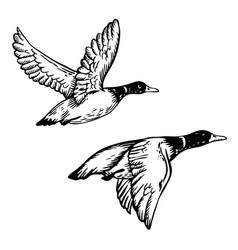 flying ducks engraving vector image vector image