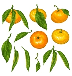 Set of mandarins Tropical fruits and leaves vector image