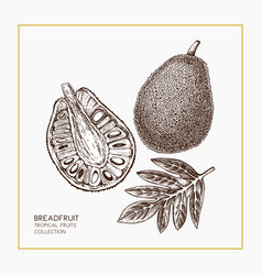 breadfruit hand drawn vector image vector image