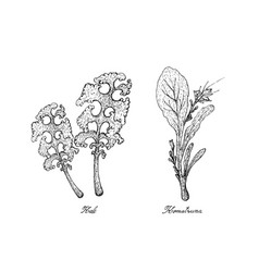 Hand drawn of kale and komatsuna plants vector