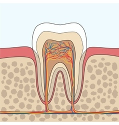 Tooth anatomy vector