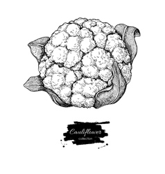 Cauliflower hand drawn vector