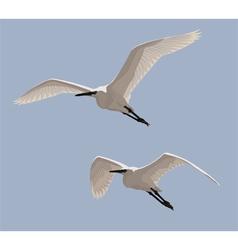 Little Egrets vector image
