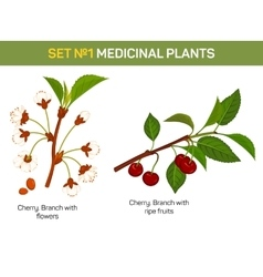 Medicinal or medical plant - branch of cherry vector