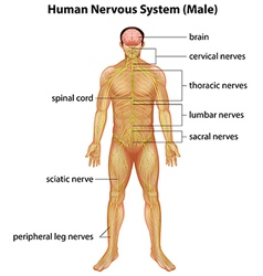 Human nervous system vector image vector image