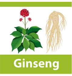 Ginseng root with leaf and flower vector