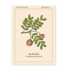Andiroba carapa guianensis medicinal plant vector