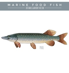 Pike marine food fish vector