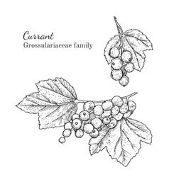 Ink currant hand drawn sketch vector