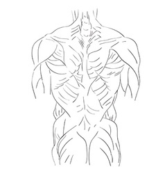 Torso muscles back vector