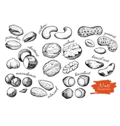 hand drawn nuts set Engraved collection vector image