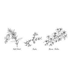 Hand drawn of sculpit or stridolo samphire and su vector