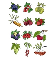 Wild and garden berry set vector