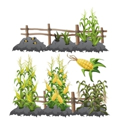Growth stages of corn agriculture vector