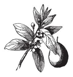 Guava vintage vector